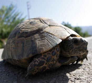 le tartarughe nane qui diventano giganti e carnivore